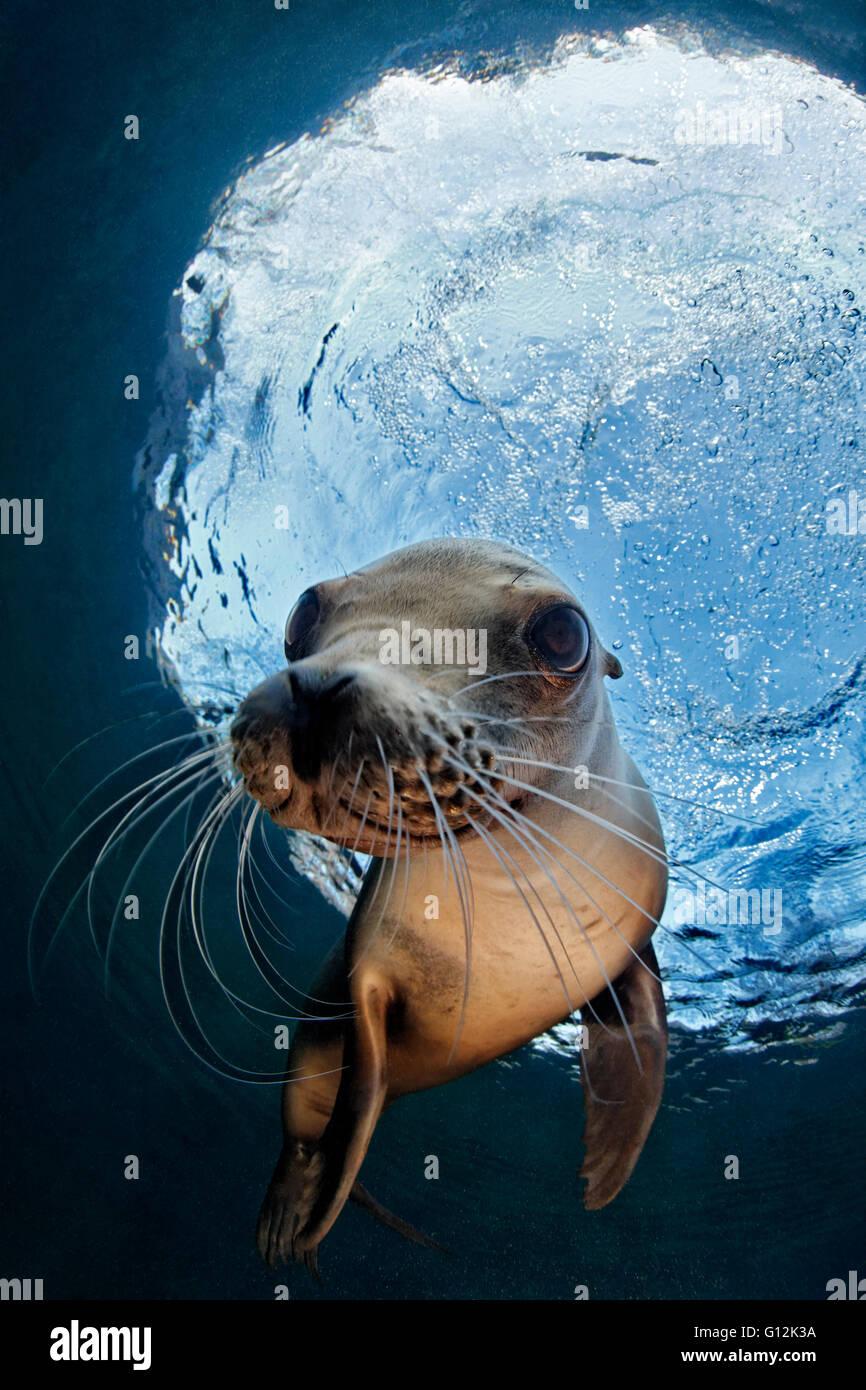 California Sea Lion, Zalophus californianus, Zoo Captivity, Germany - Stock Image