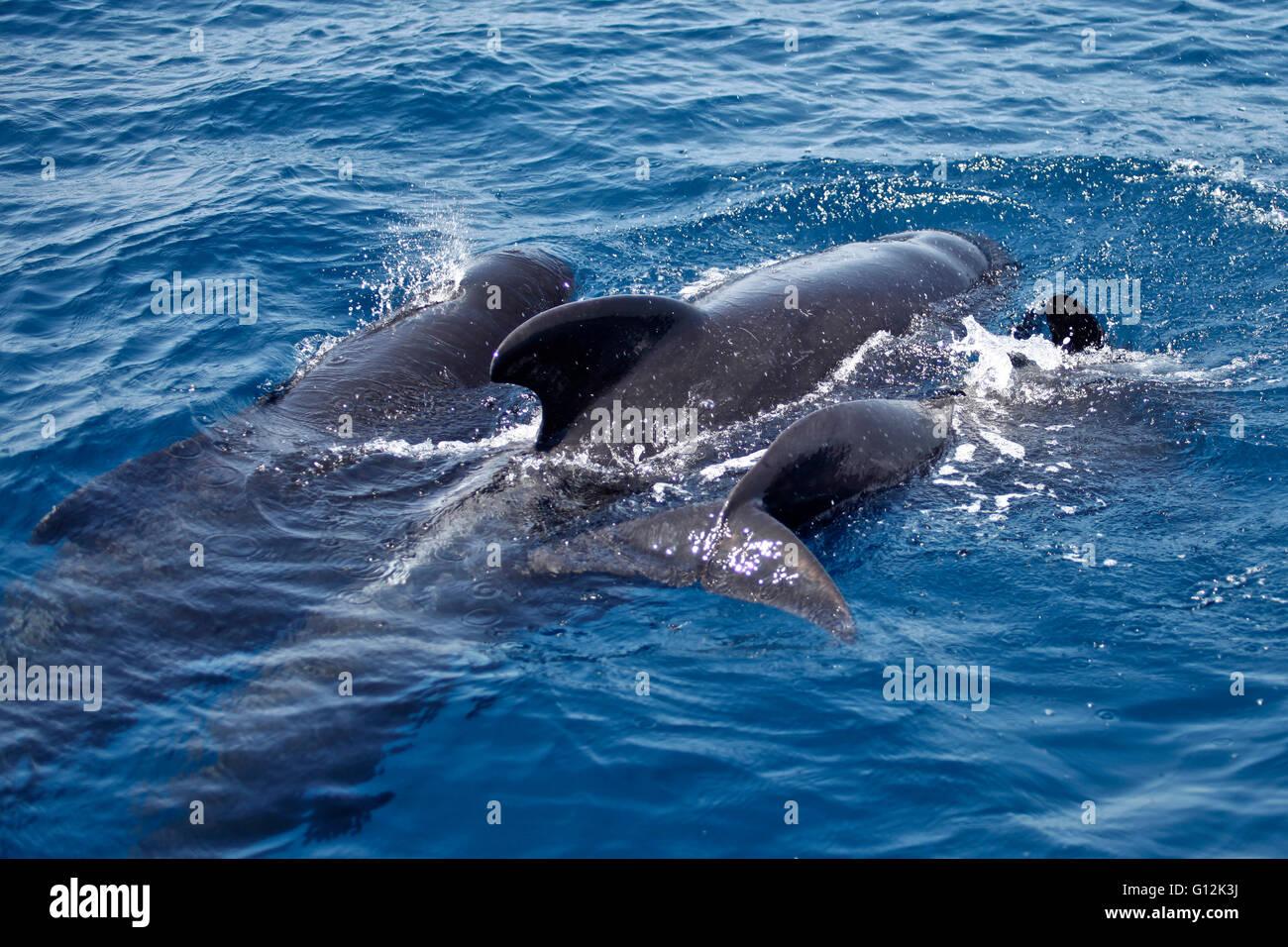 Family of Short-finned Pilot Whale, Globicephala macrorhynchus, Strait of Gibraltar, Spain Stock Photo