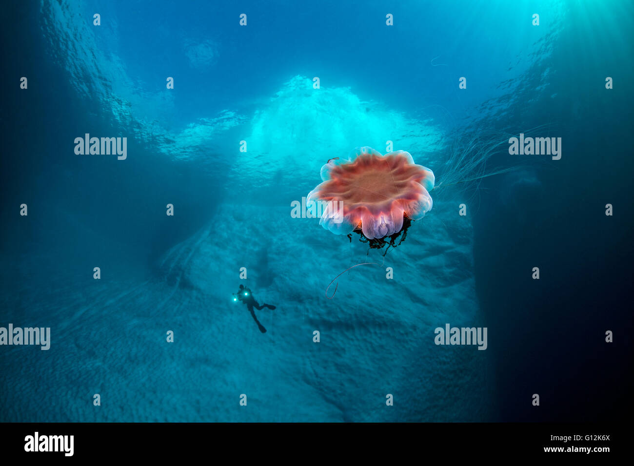 Lions Mane Jellyfish under Iceberg, Cyanea capillata, Tasiilaq, Greenland - Stock Image