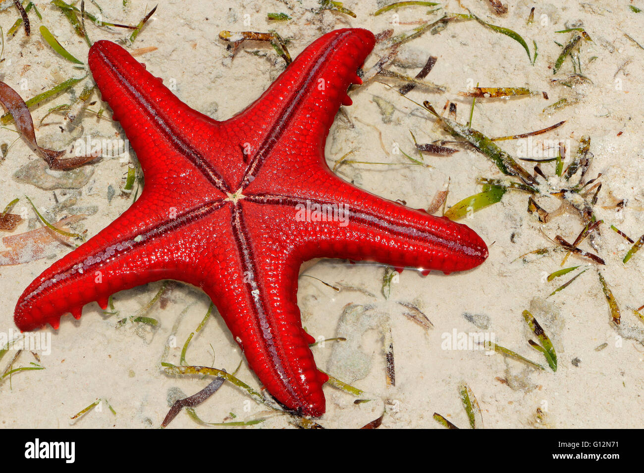 Colorful red starfish on wet sand, Zanzibar island - Stock Image
