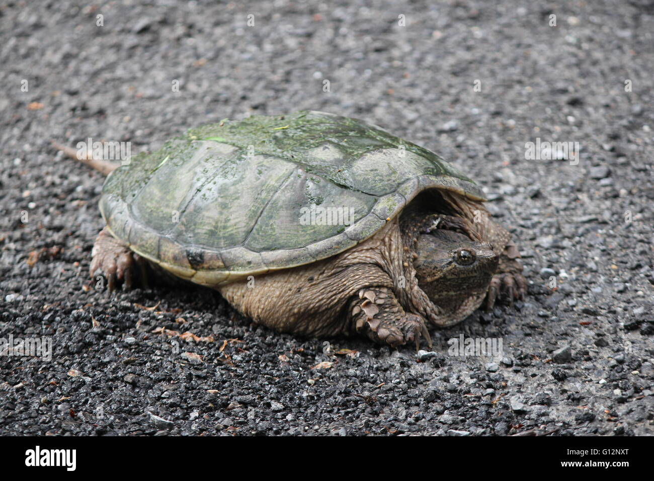 Snapping turtle (Chelydra serpentina) crossing a country roadway. They are found throughout most of the southern Stock Photo