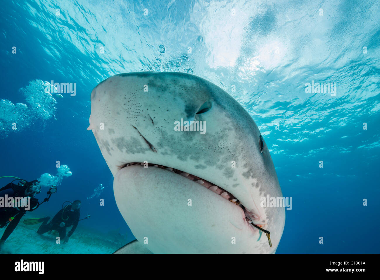 Tiger shark, galeocerdo cuvier, underwater in The Bahamas, Caribbean - Stock Image