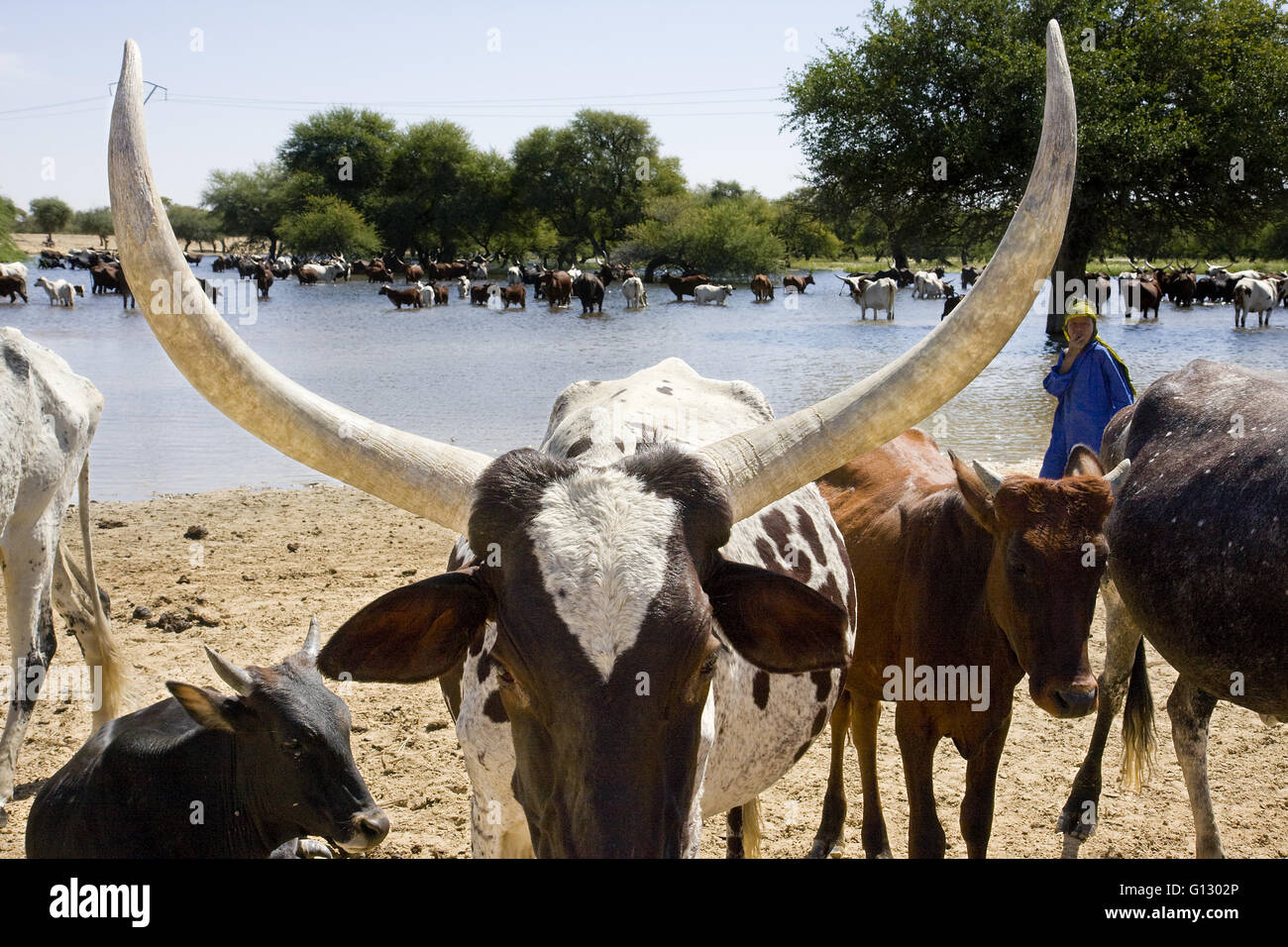 Cattle herd, Ankole cows, in Komadougu river near Chad lake. Niger - Stock Image