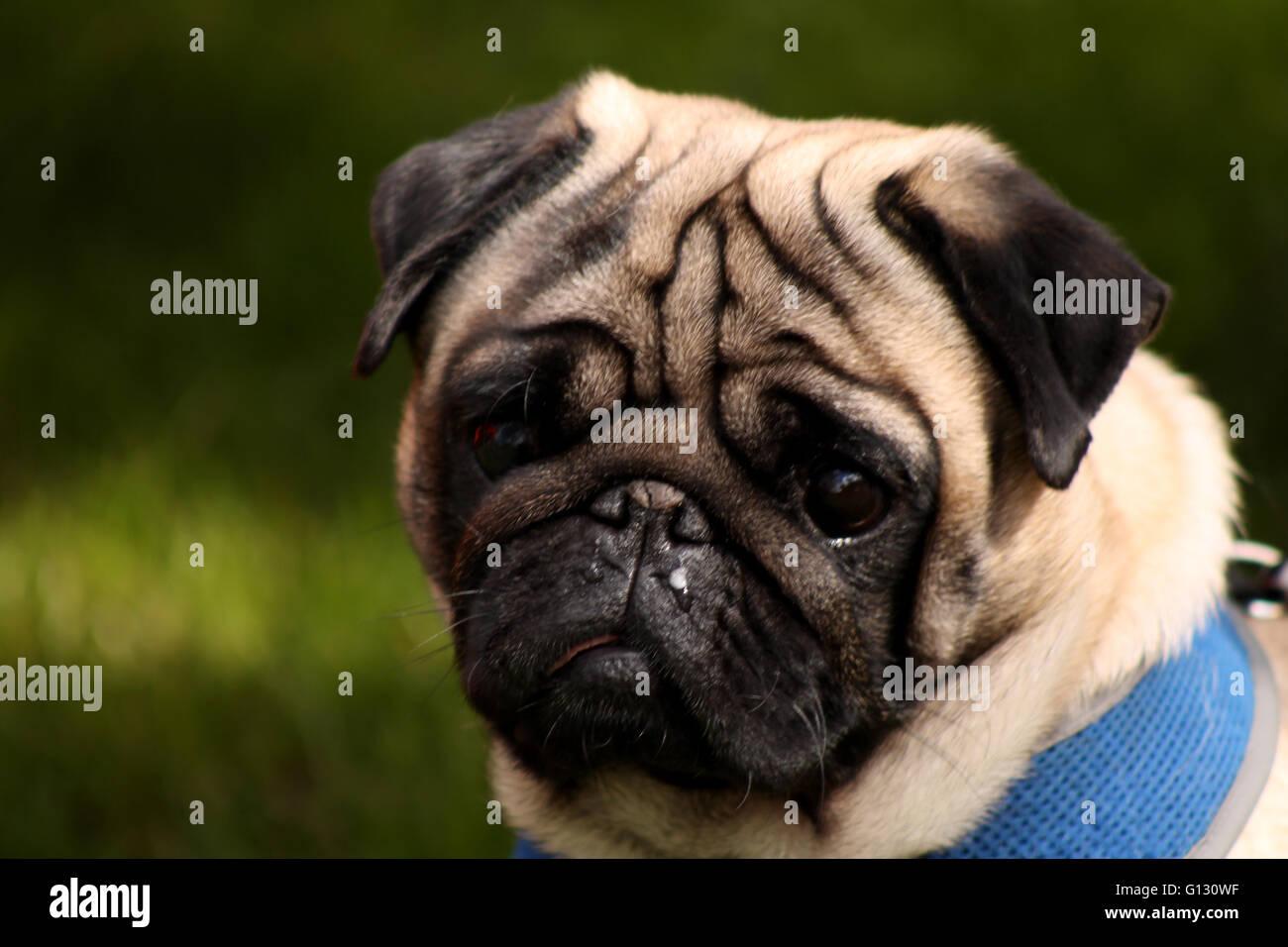 Pug pet portrait - Stock Image