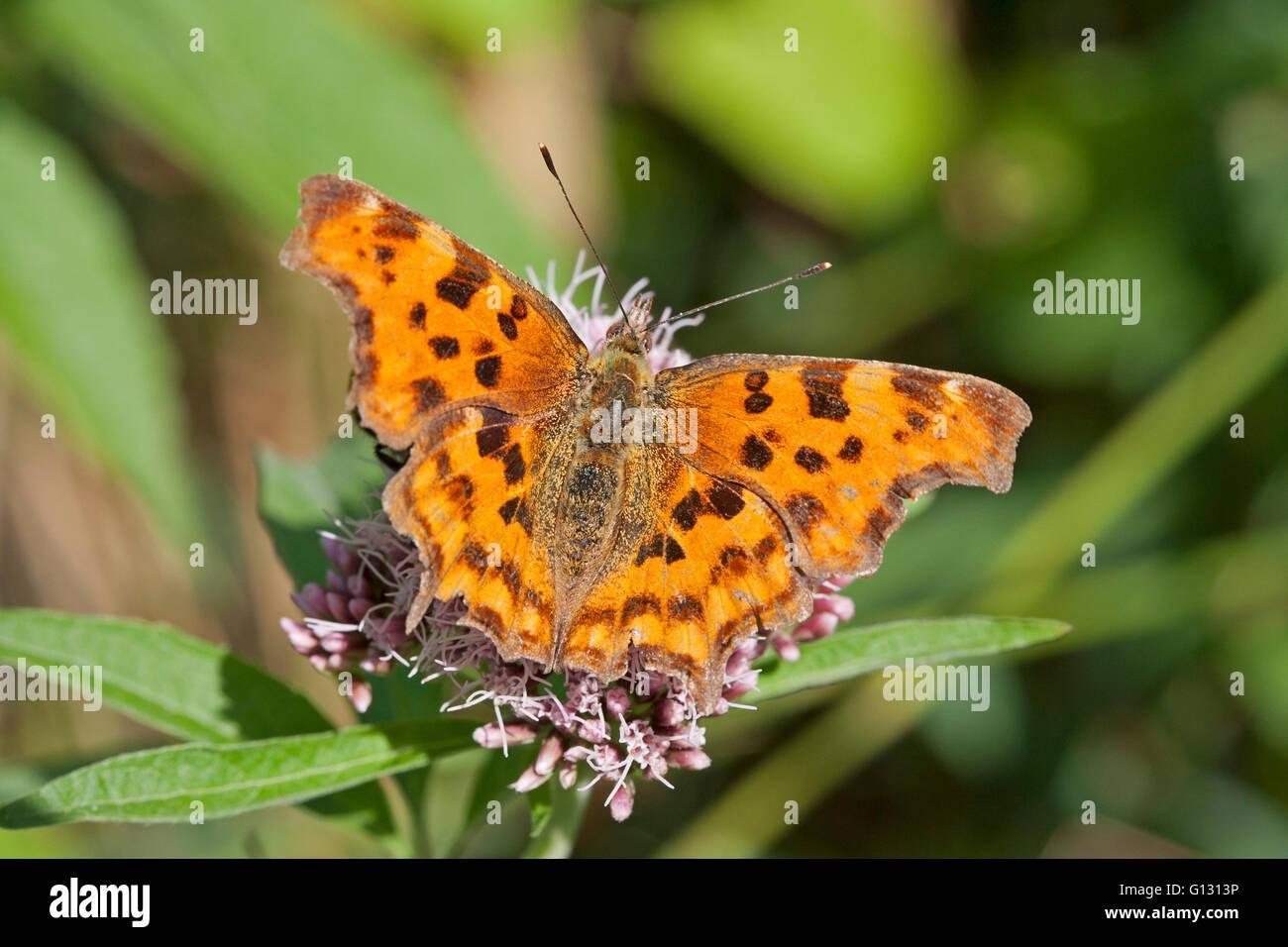 Comma,  Polygonia c-album,  Single adult feeding on Hemp Agrimony.  Minsmere, Suffolk, UK. - Stock Image