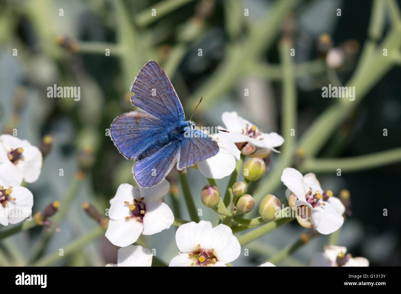 Common Blue Butterfly Polyommatus icarus Single adult male feeding on flowers of Sea Kale, Crambe maritima Minsmere, - Stock Image
