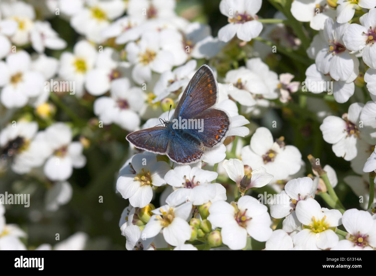 Common Blue Butterfly Polyommatus icarus Single adult female feeding on flowers of Sea Kale, Crambe maritima Minsmere, - Stock Image