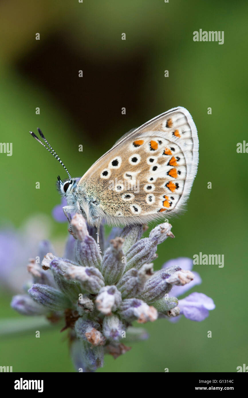 Common Blue Butterfly Polyommatus icarus Single adult feeding on lavender flowers Essex, UK Stock Photo
