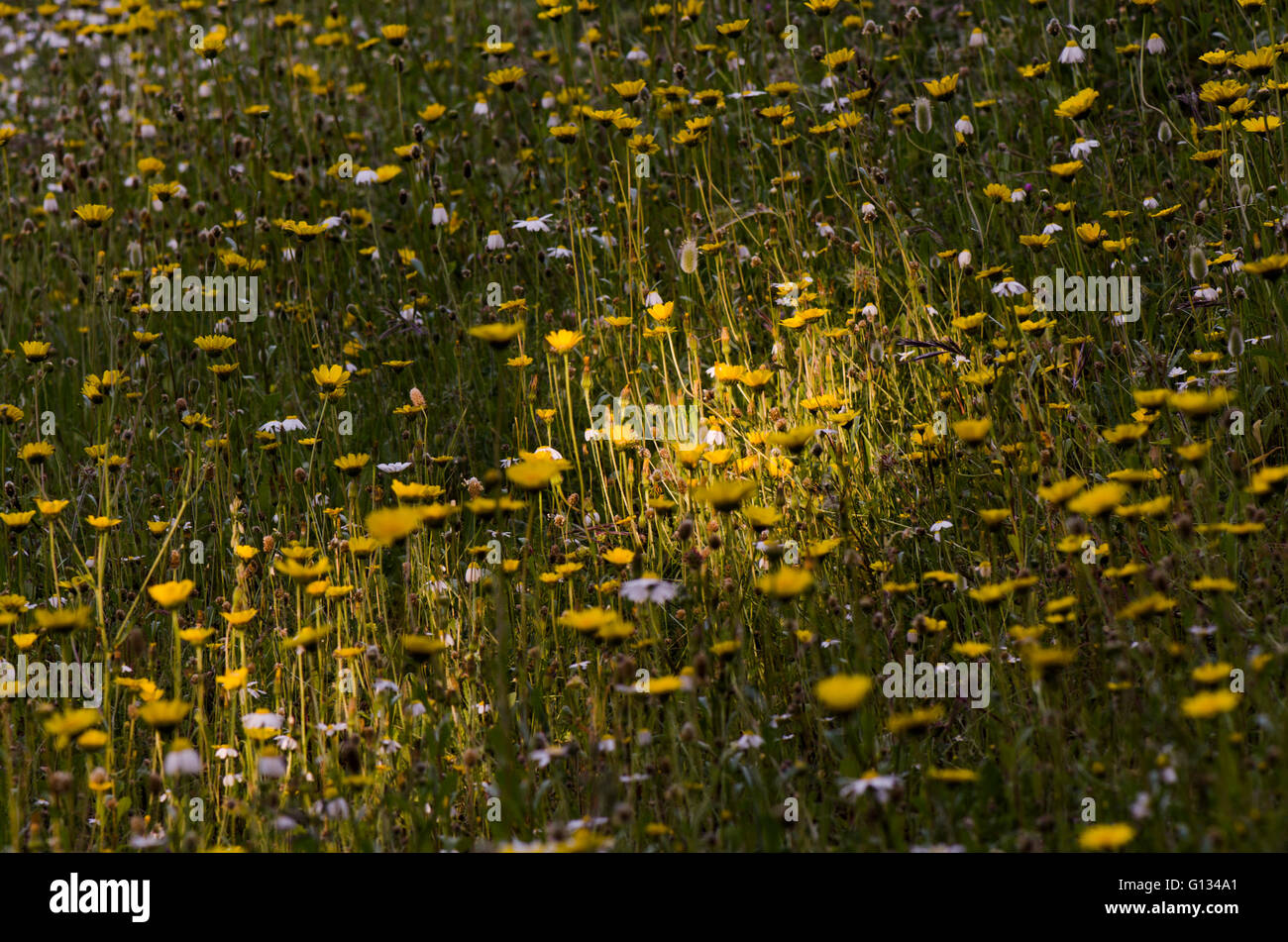 Sun beam falls on a meadow with yellow daisies flowers, Spain. - Stock Image