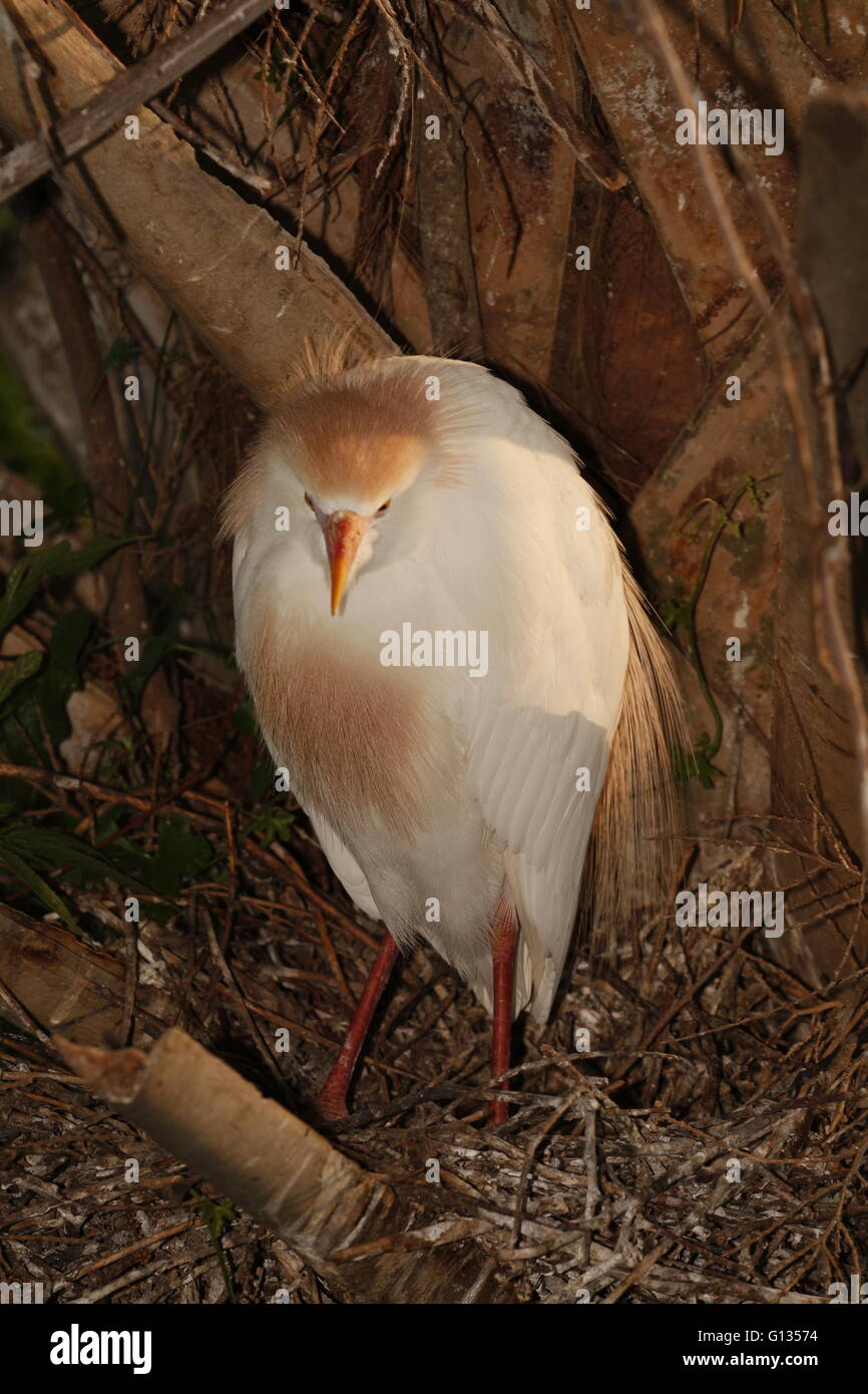 A Cattle Egret, Bubulcus ibis, in breeding plumage - Stock Image