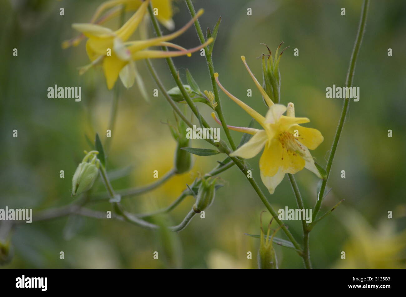 Golden columbine flower stock photos golden columbine flower stock golden columbine aquilegia chysantha flower stock image izmirmasajfo
