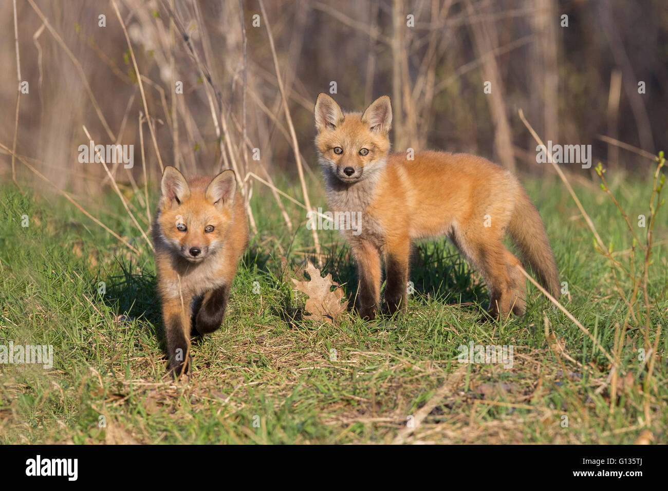 Red fox family in spring - Stock Image