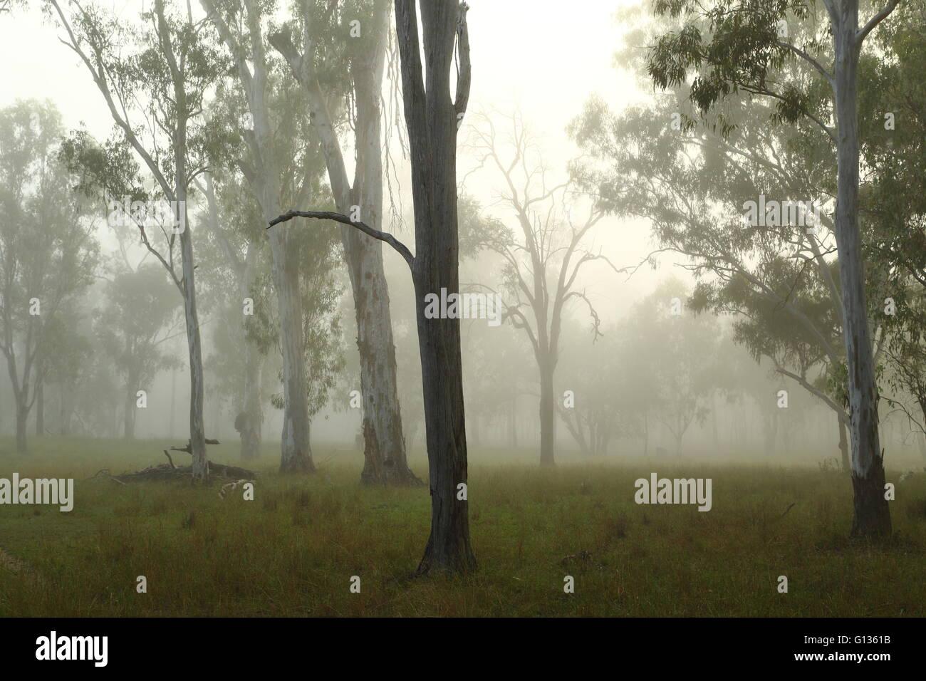 Morning fog enveloping eucalyptus trees on a farm near Eidsvold, Queensland, Australia. - Stock Image