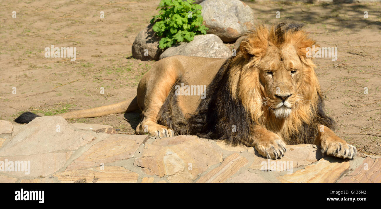 Resting Asiatic lion (Panthera leo persica) - Stock Image