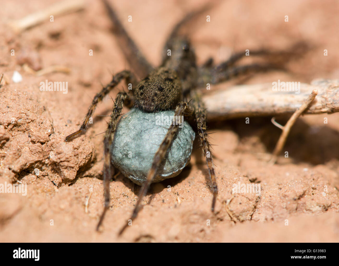 Wolf spider (Pardosa sp.) egg sac. Blue silk sac containing eggs attached to spinarets of female spider in the family - Stock Image