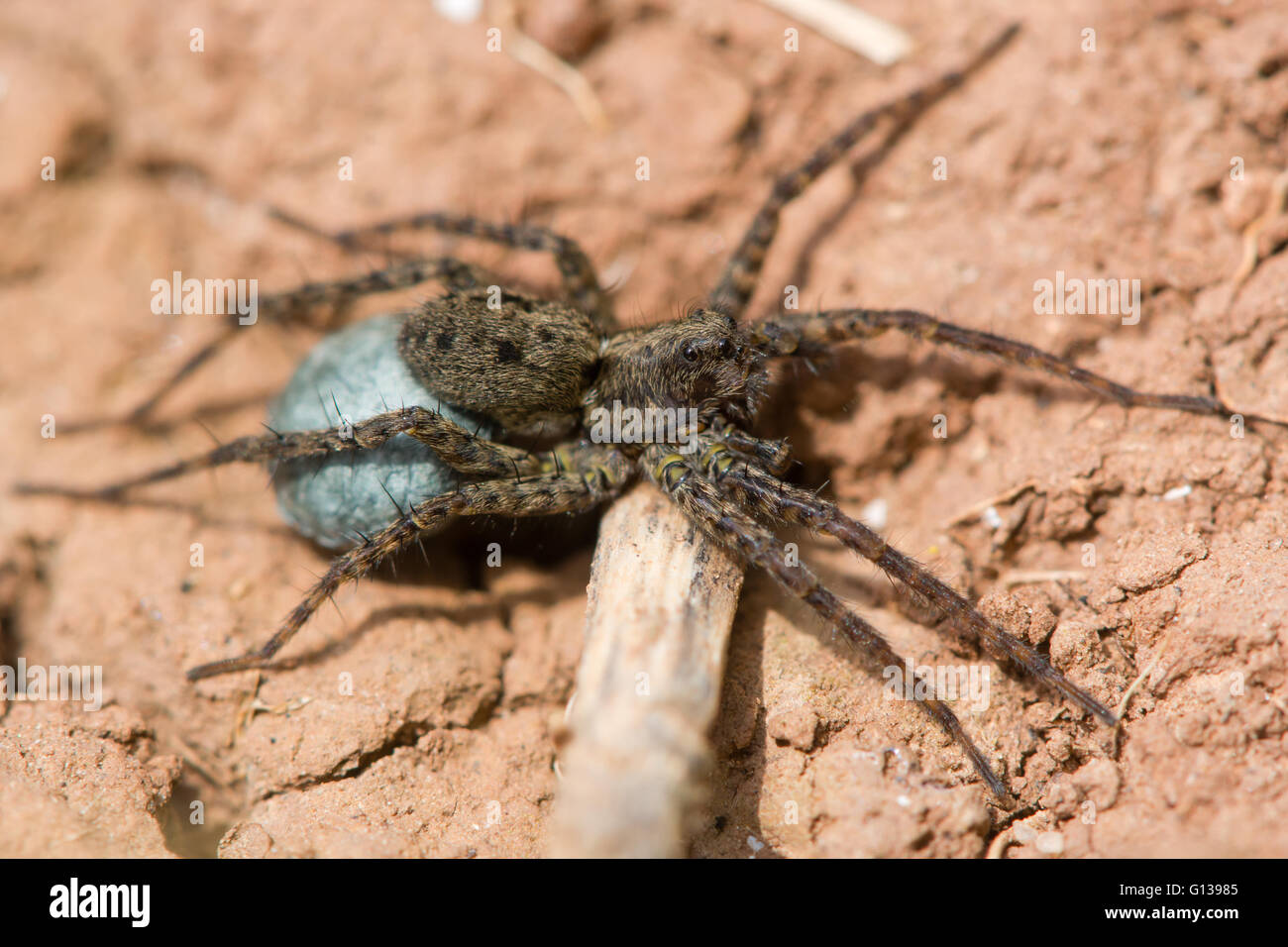 Wolf spider (Pardosa sp.) female with egg sac. Blue silk containing eggs attached to spinarets of female in family - Stock Image