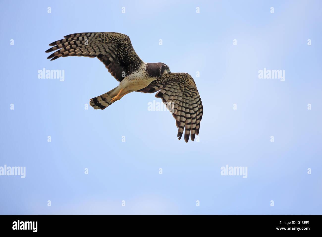 Long-winged Harrier (Circus buffoni) Stock Photo