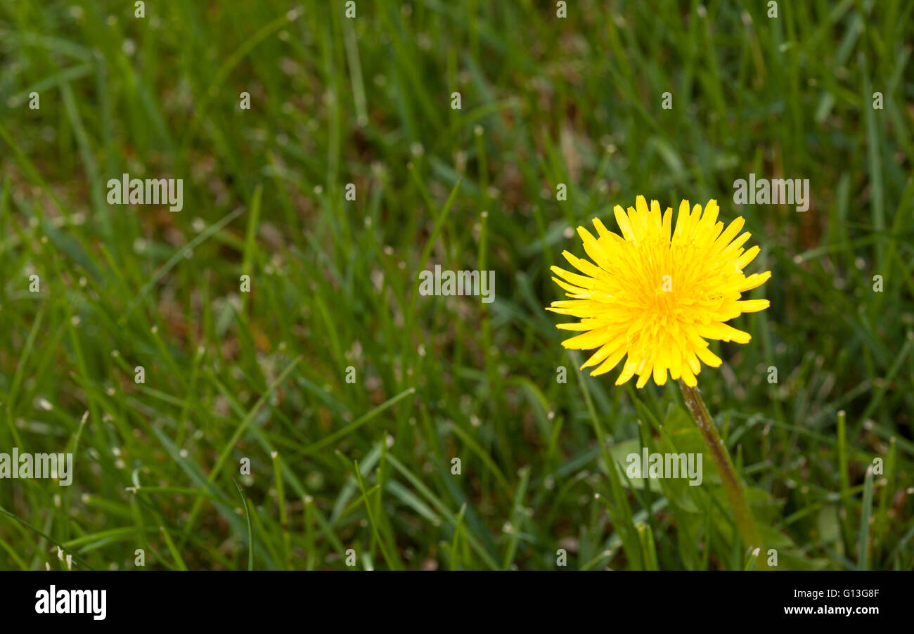 yellow dandelion flower close up - Stock Image