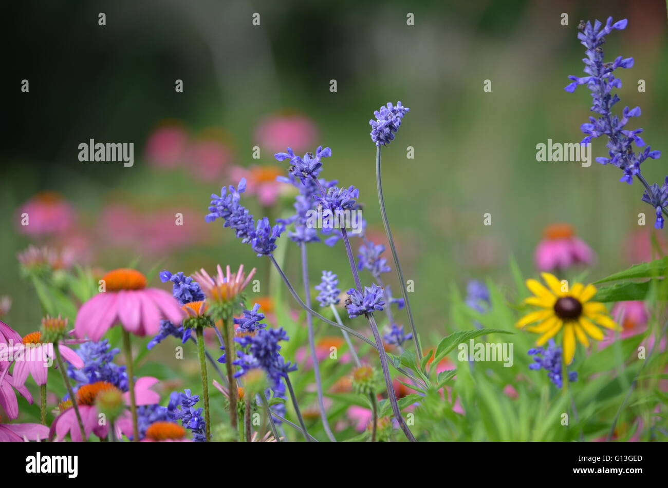 Eastern Purple Coneflower ((Echinacea Purpurea) Flowers and Mealy Blue Sage (Salvia Farinacea) With Black Eyed Susan Stock Photo