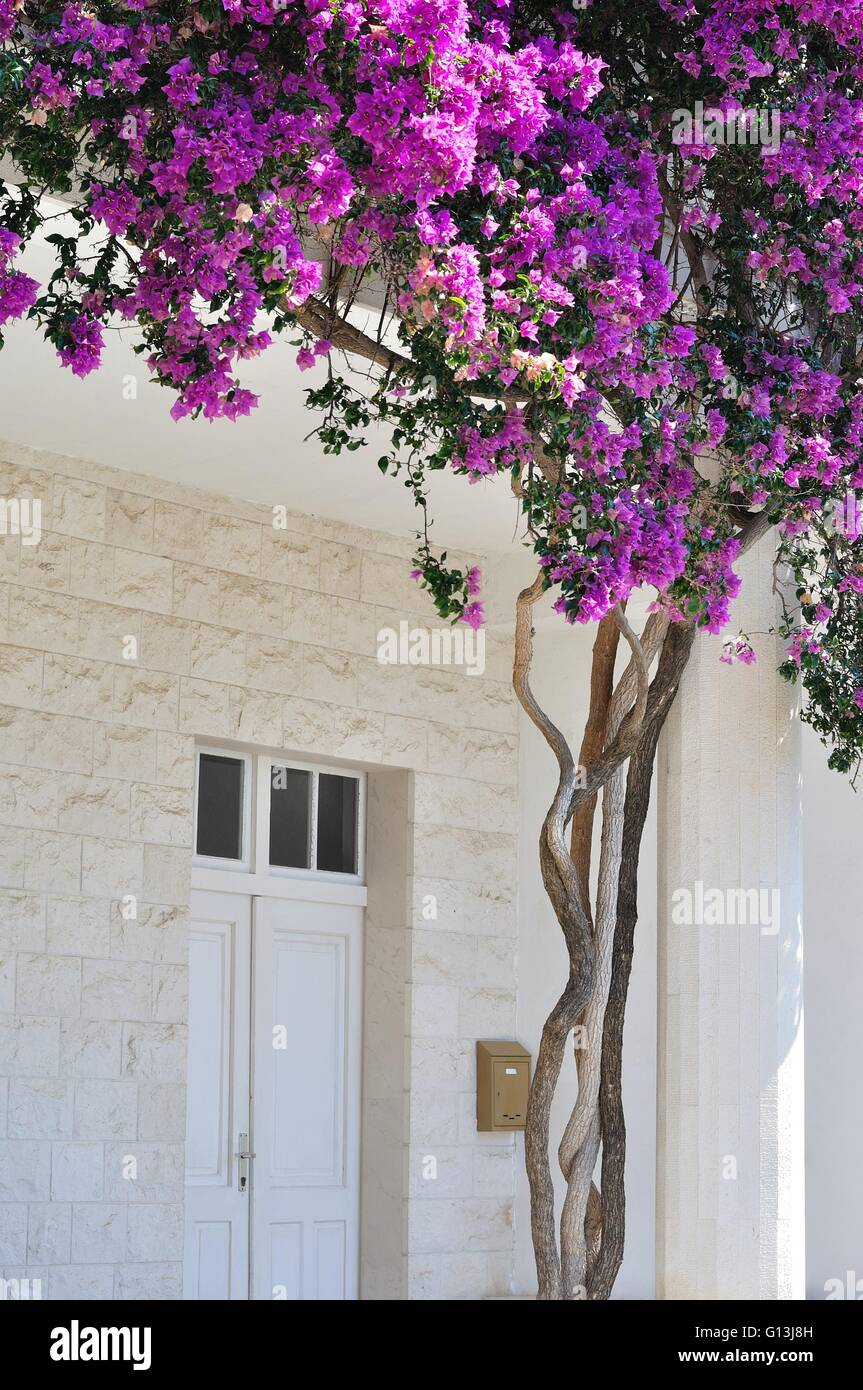White building with beautiful Bougainvillea flowers at the entrance in Croatia - Stock Image
