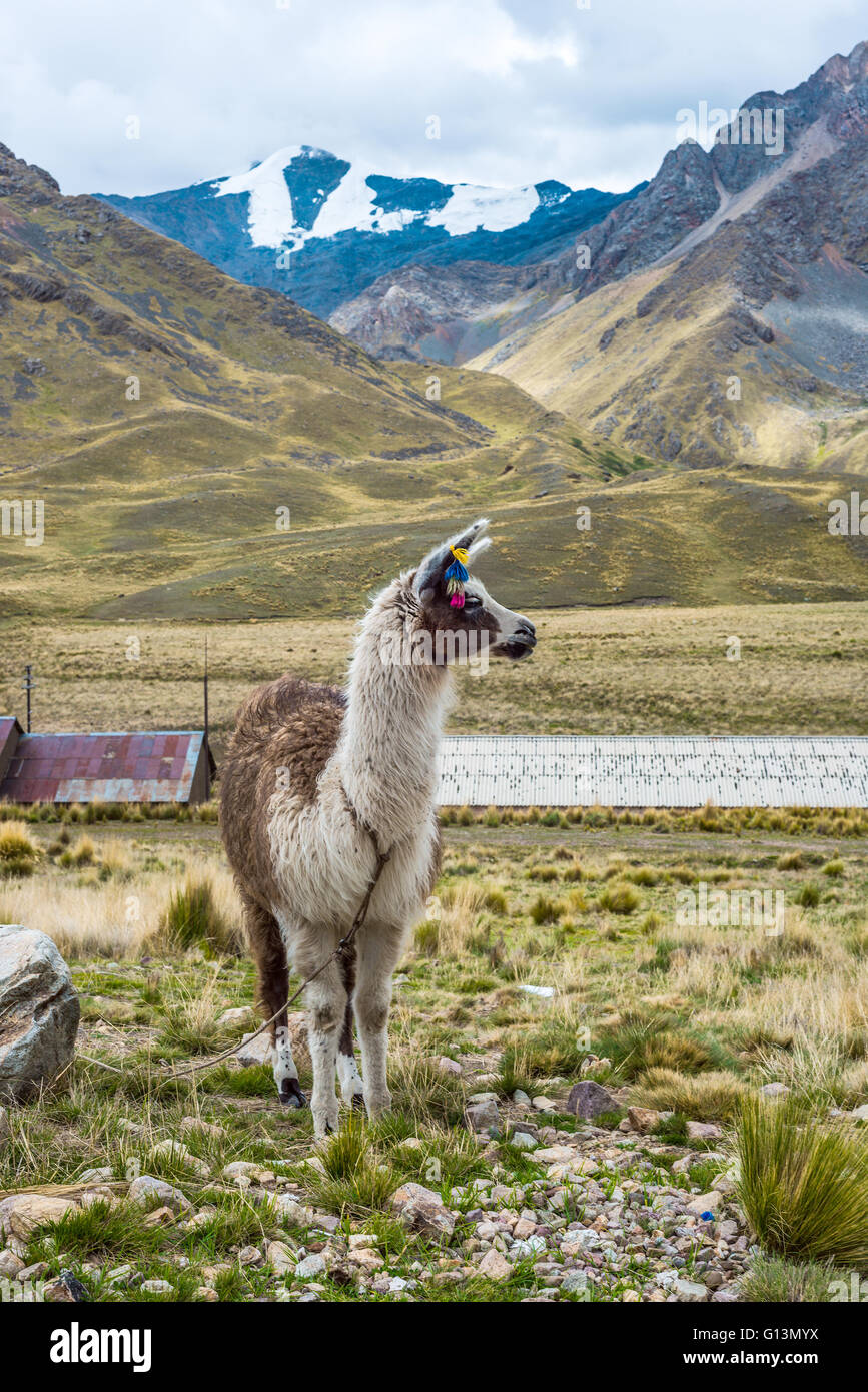 Alpaca in the tourist spot of Sacred Valley on the road from Cuzco, Peru - Stock Image
