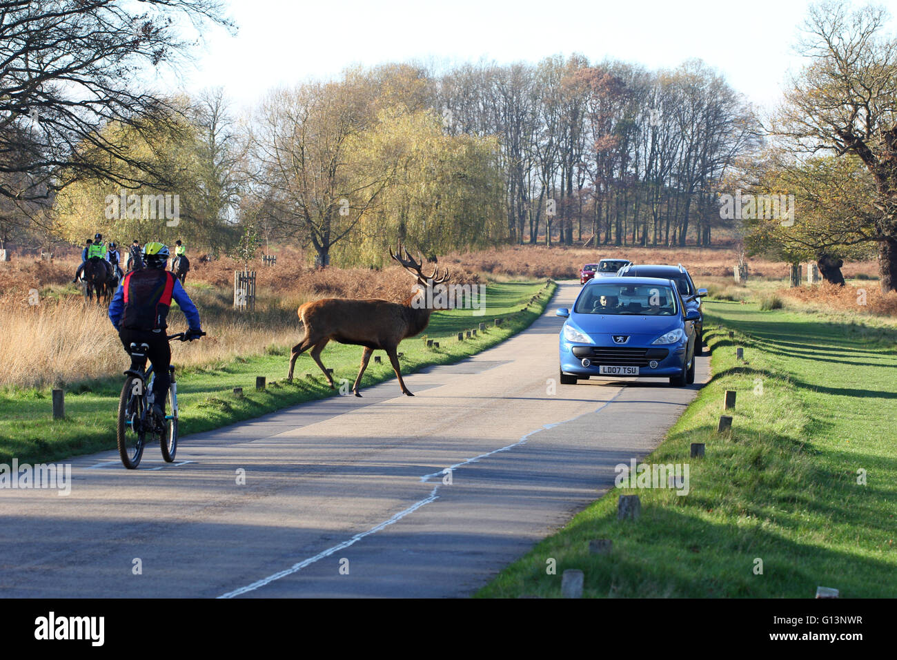 A male Red deer (Cervus Elaphus) crossing the road in front of cars and bicycle traffic in Richmond Park, London. Stock Photo