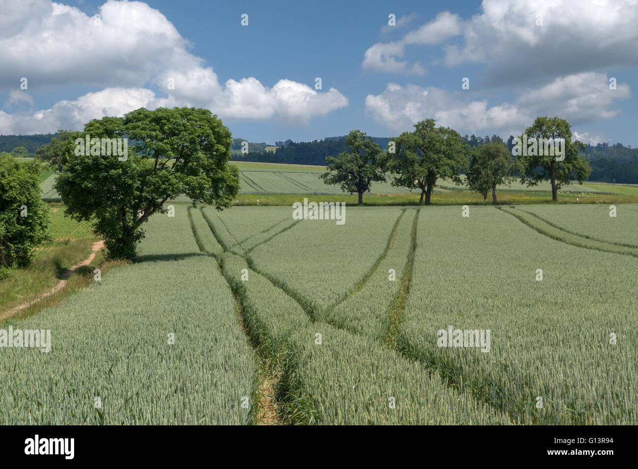 Lanes in the green wheat field - Stock Image
