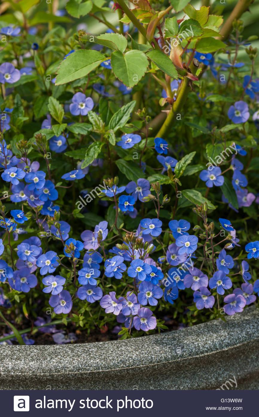 Veronica peduncularis 'Georgia Blue' - Stock Image