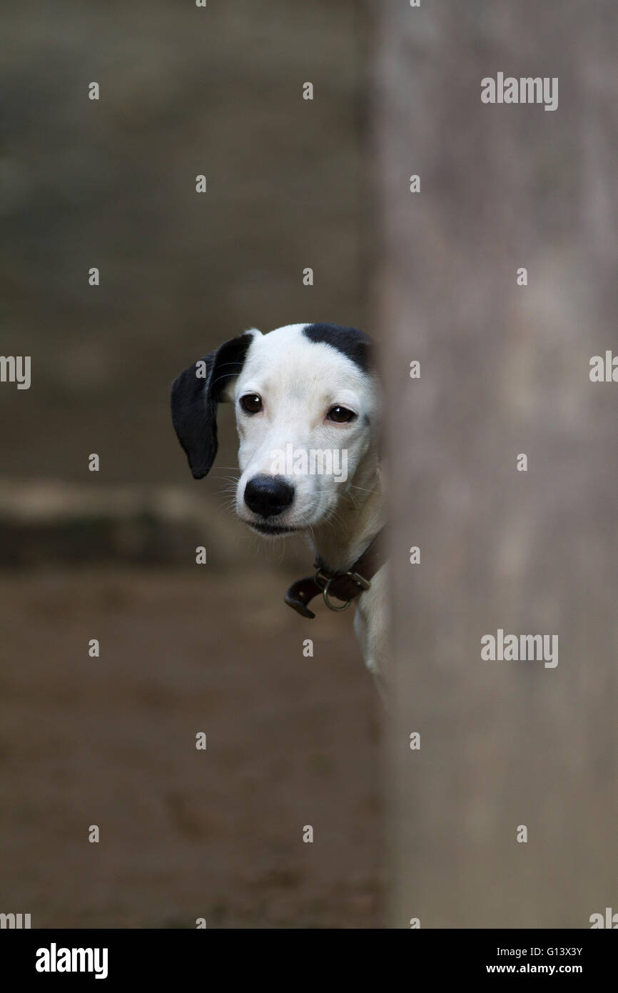 Domestic Dog. Portrait of single mongrel adult hiding behind wall, Rio de Janeiro state, Brazil - Stock Image
