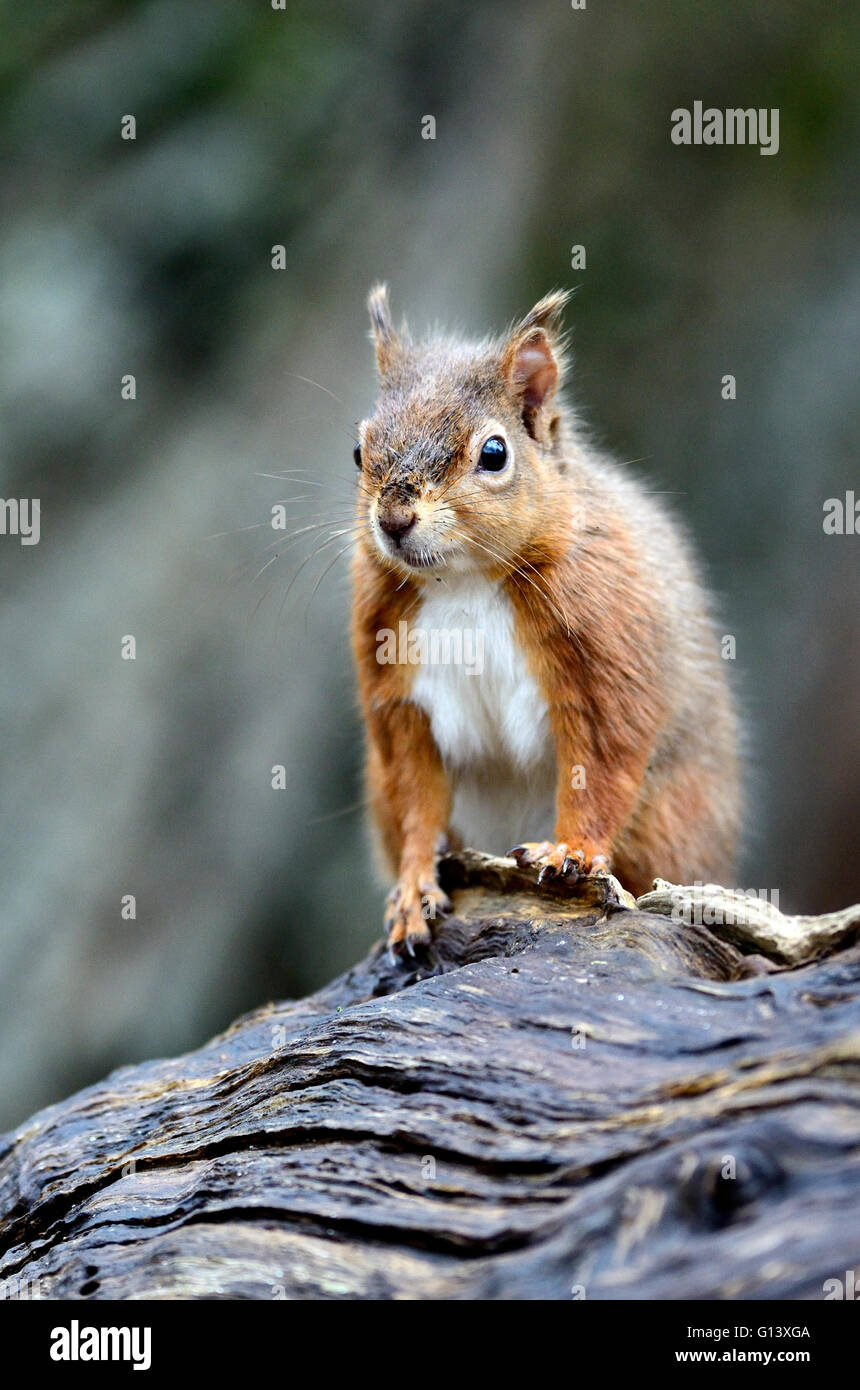 Red squirrel in winter. Brownsea Island, Dorset, UK. February 2014 - Stock Image