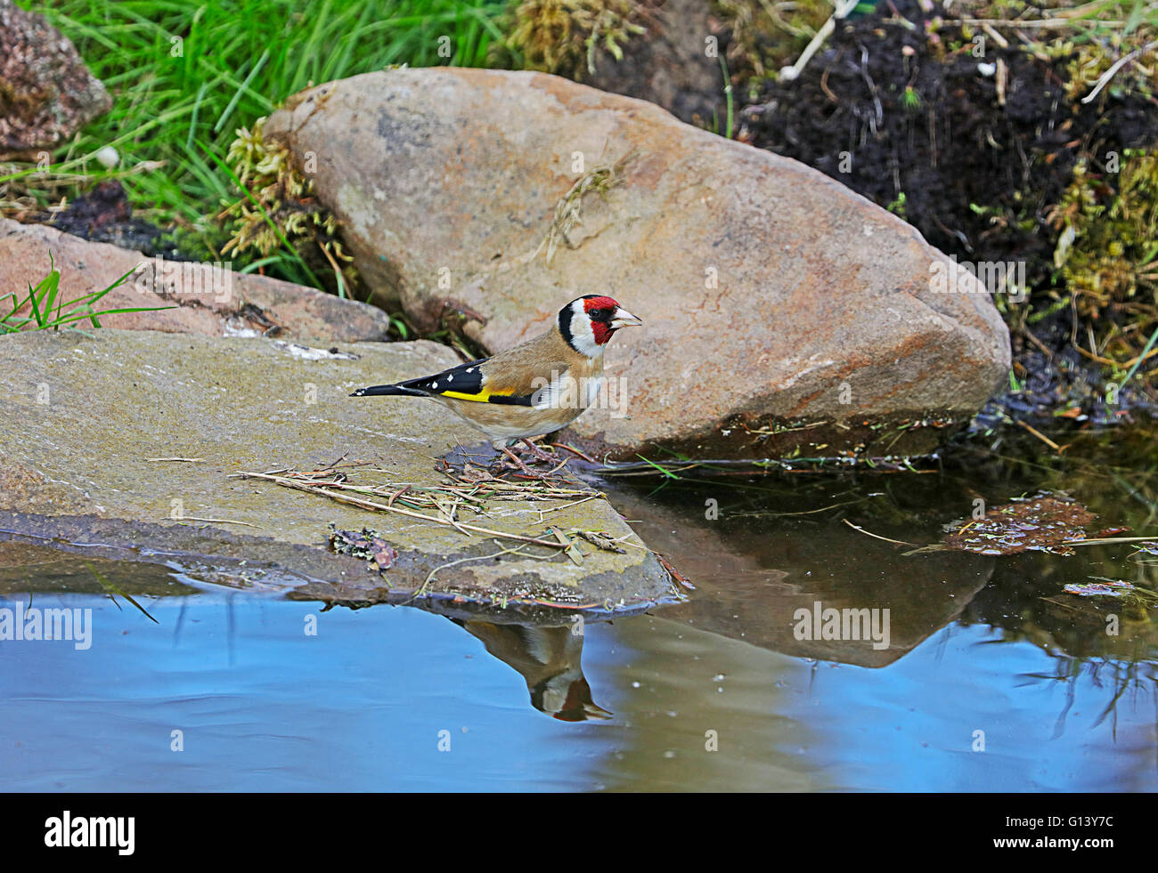 Goldfinch by water - Stock Image