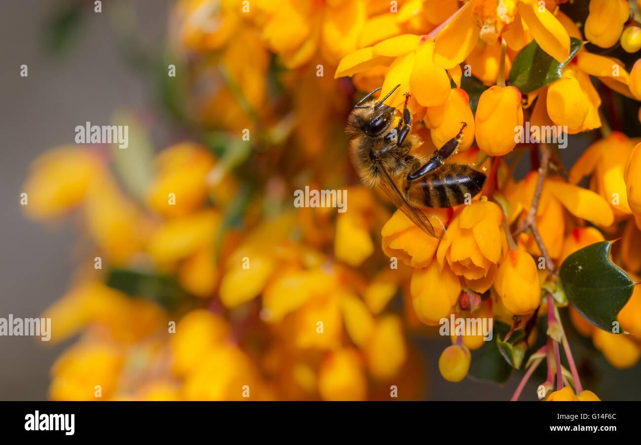 Western Honey Bee (Apis mellifera) on berberis in full flower - Stock Image