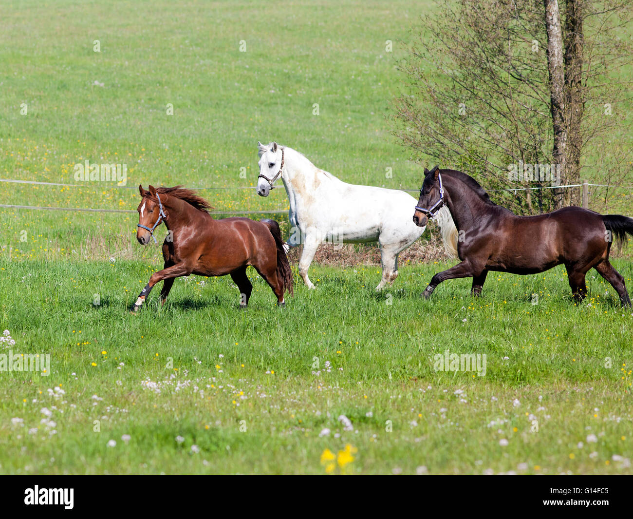Three beautiful horses gallop on pasture - Stock Image