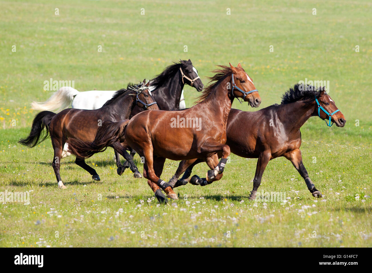Herd of beautiful horses gallop on pasture - Stock Image