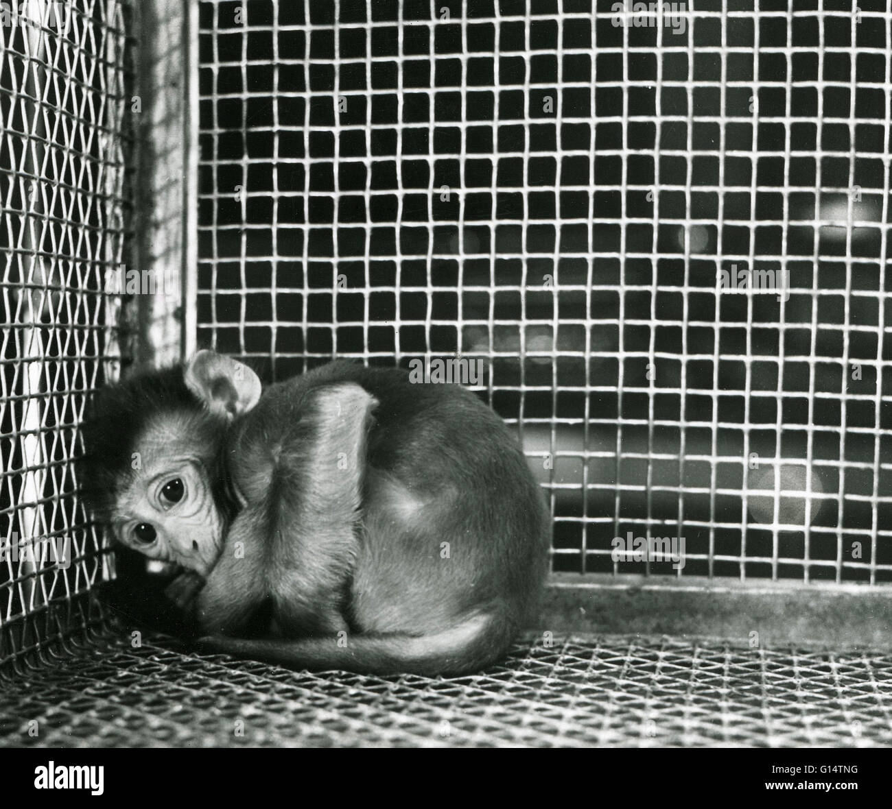 An infant Rhesus monkey (Macaca mulatta) in a cage during an animal experiment. Maternal deprivation experiments - Stock Image