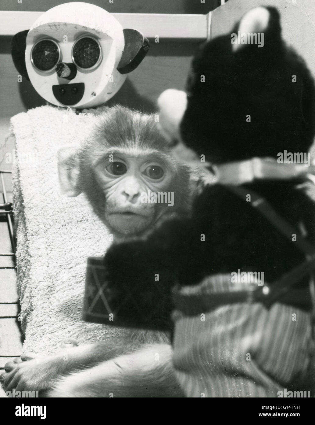 An infant Rhesus monkey (Macaca mulatta) with its cloth surrogate mother and a teddy bear during an animal experiment. - Stock Image