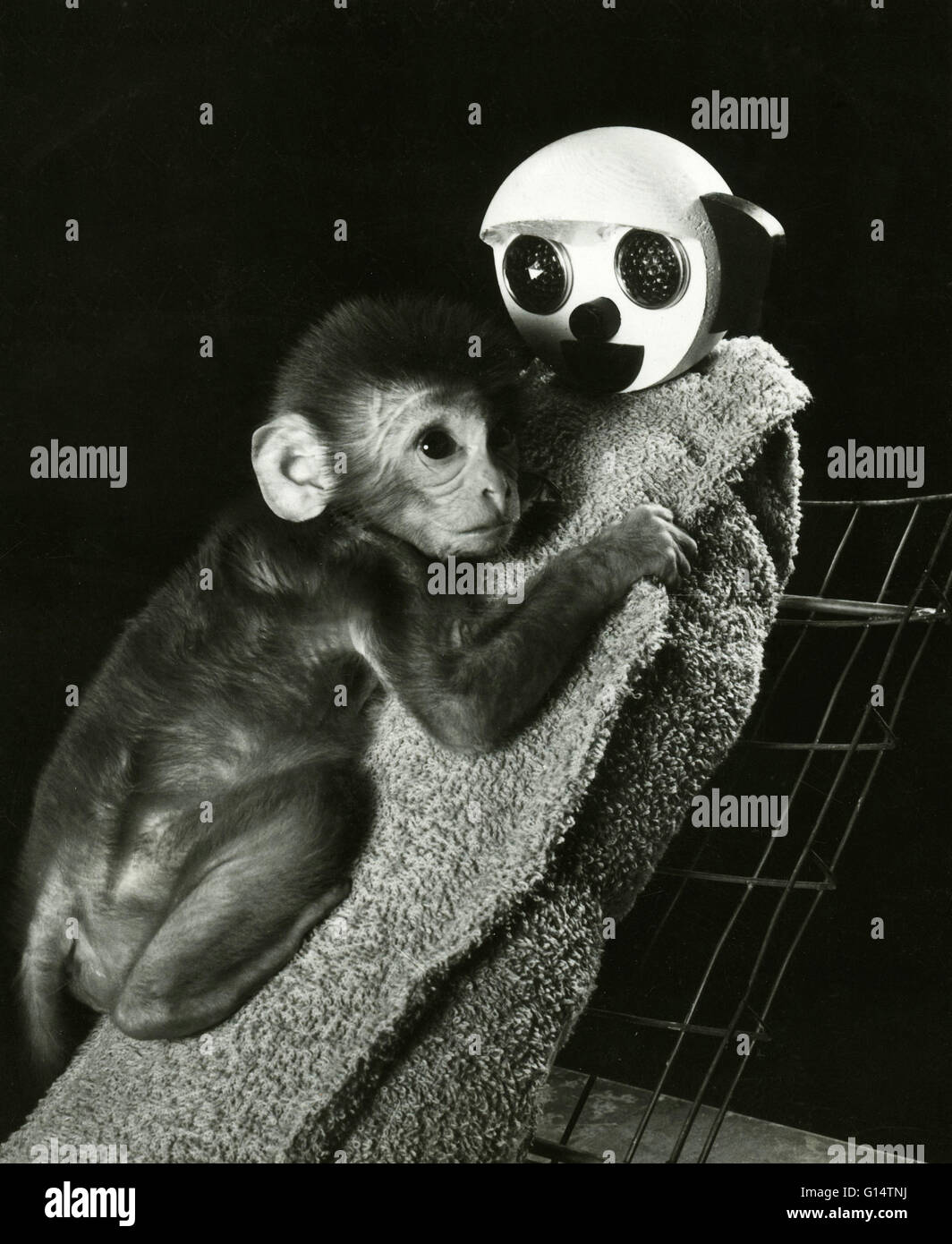 An infant Rhesus monkey (Macaca mulatta) with its cloth surrogate mother during an animal experiment. Maternal deprivation - Stock Image