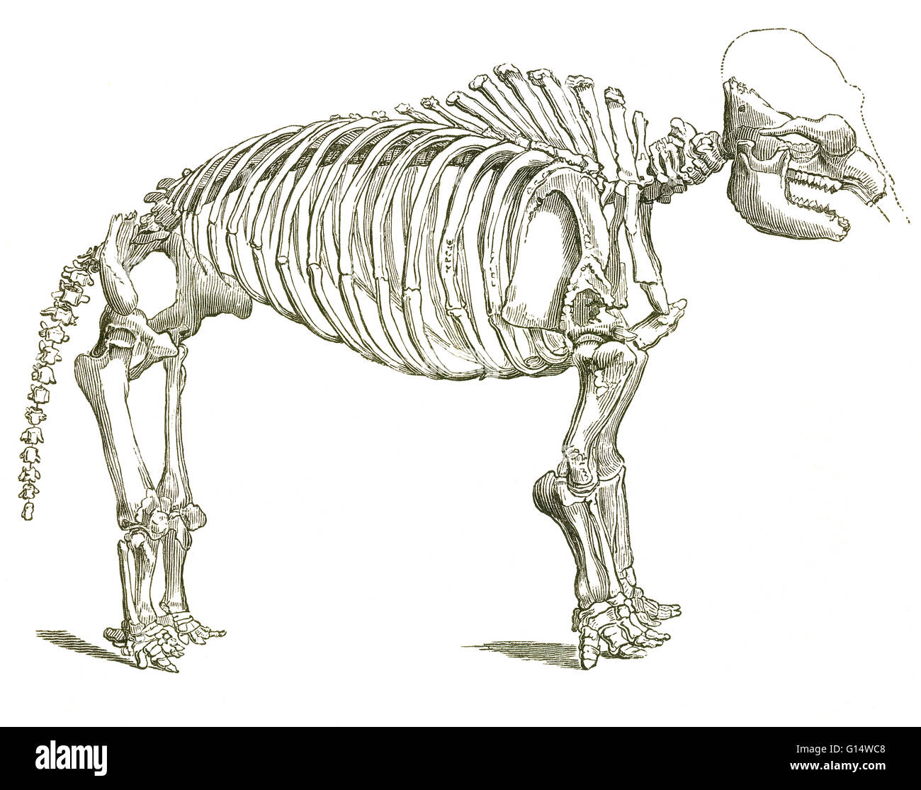 Illustration of a skeleton of a mastodon (Mastodon giganteus, now known as Mammut americanum), a pachyderm that - Stock Image