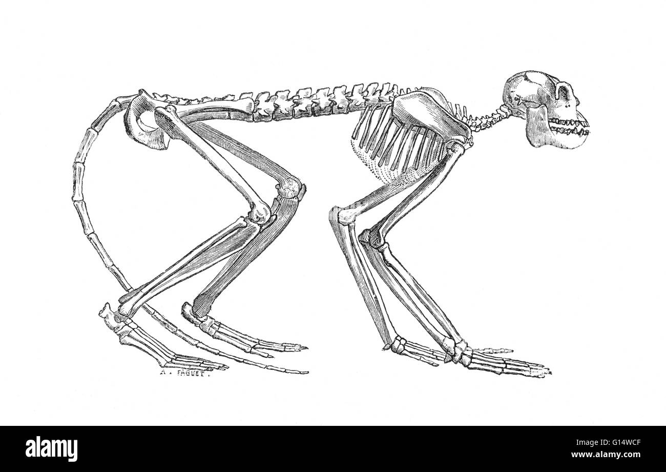 Illustration of a skeleton of Mesopithecus, an old-world monkey from ...