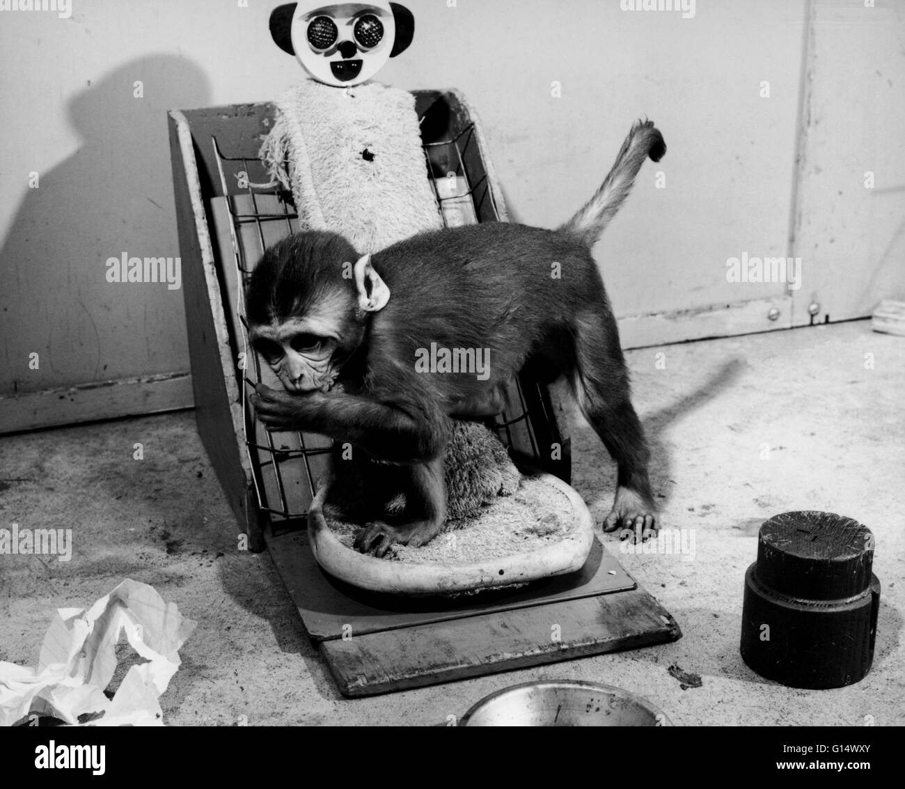 Animal experiment. Rhesus monkey infant. Maternal deprivation experiments performed by Harry Harlow of the University - Stock Image