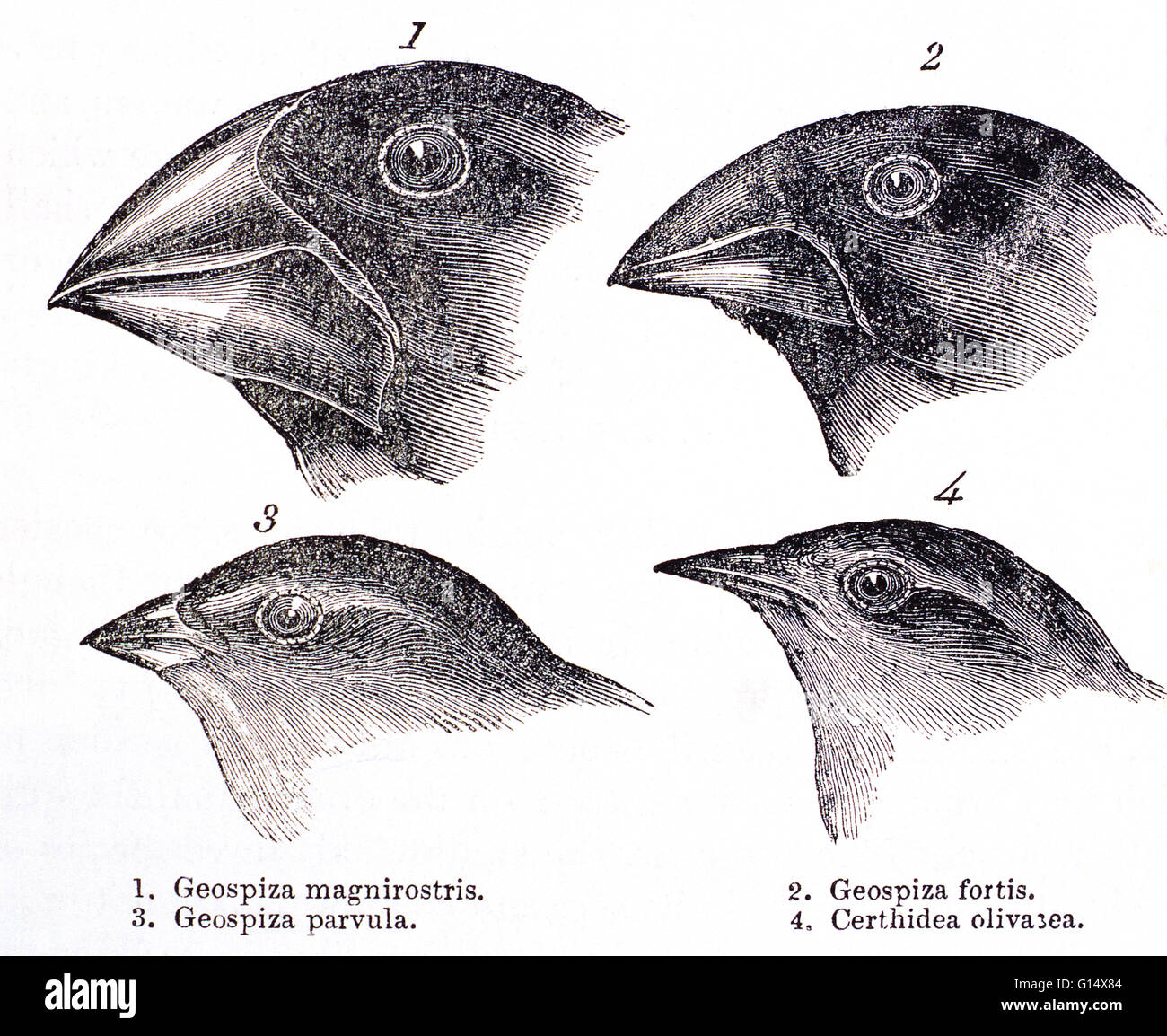 Galapagos finches. Historical artwork of the heads of Galapagos finches, made by Charles Darwin in his book 'A - Stock Image