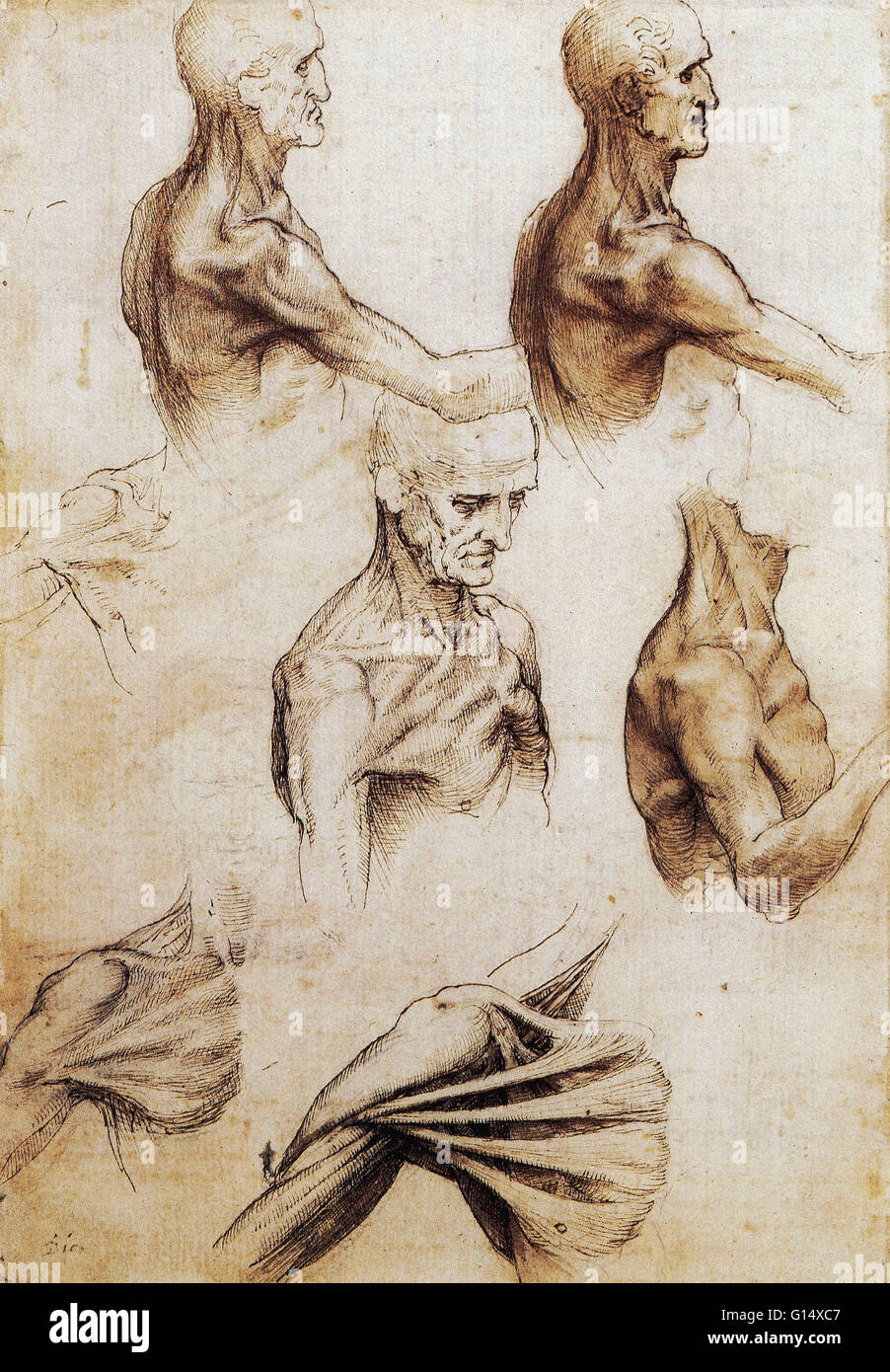 Anatomical drawings by Leonardo Da Vinci from around 1510 Stock ...