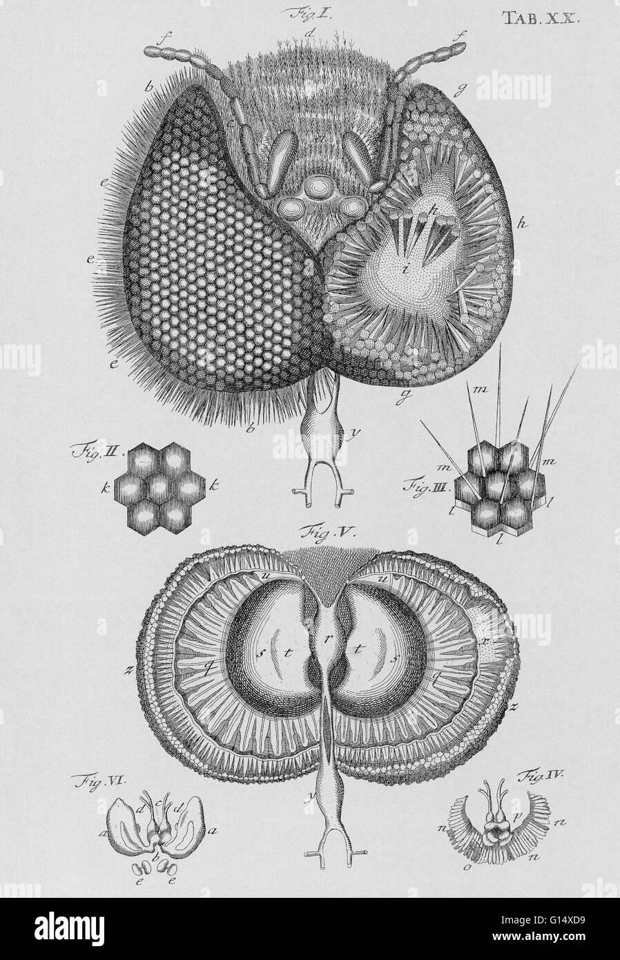 Honey bee eye drawing of the structure of the eye of a honey bee honey bee eye drawing of the structure of the eye of a honey bee apis mellifera by the dutch naturalist jan swammerdam 1637 1680 ccuart Images