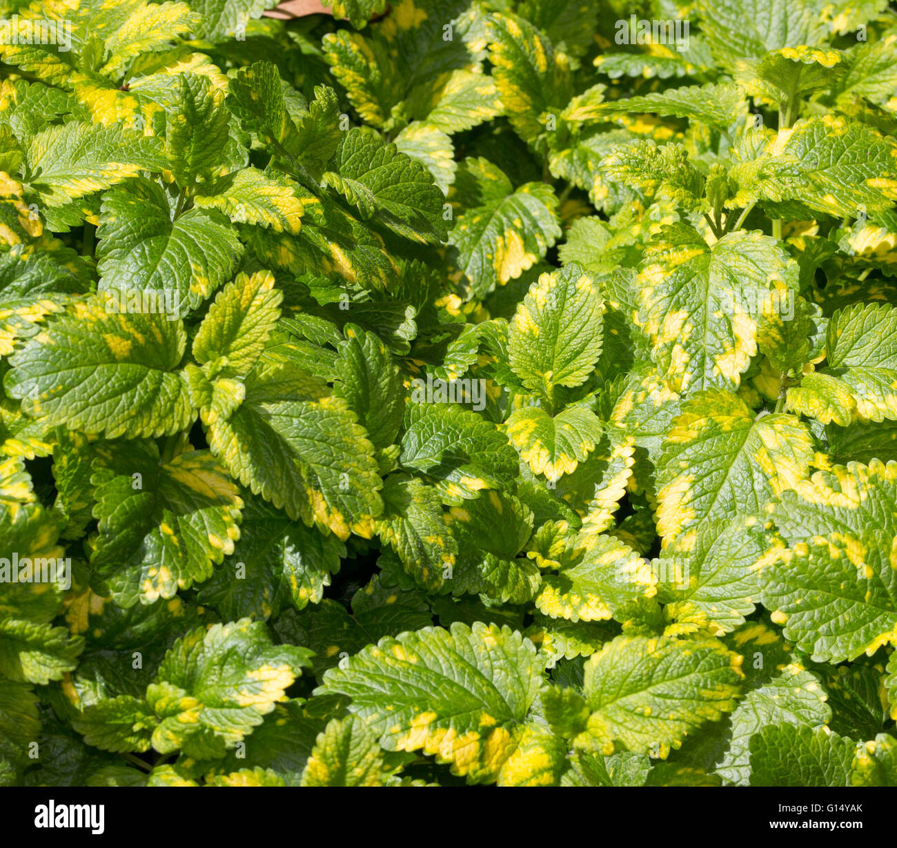 Gold variegated foliage of the hardy perennial pot herb Melissa officinalis 'Aurea', golden lemon balm Stock Photo