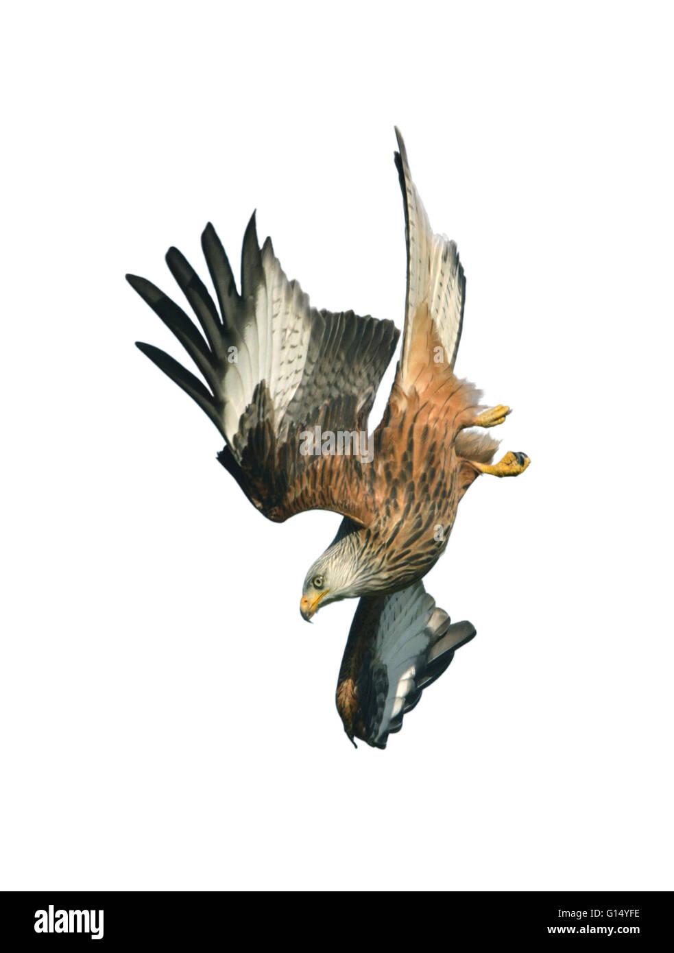 Red Kite - Milvus milvus - Stock Image