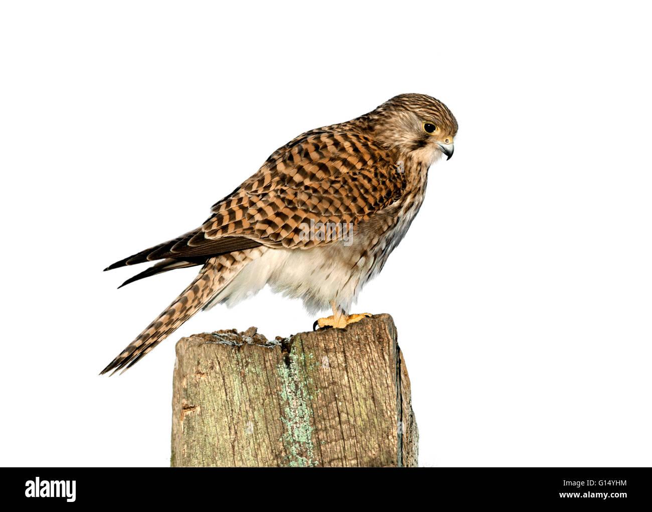 Kestrel - Falco tinnunculus - Stock Image
