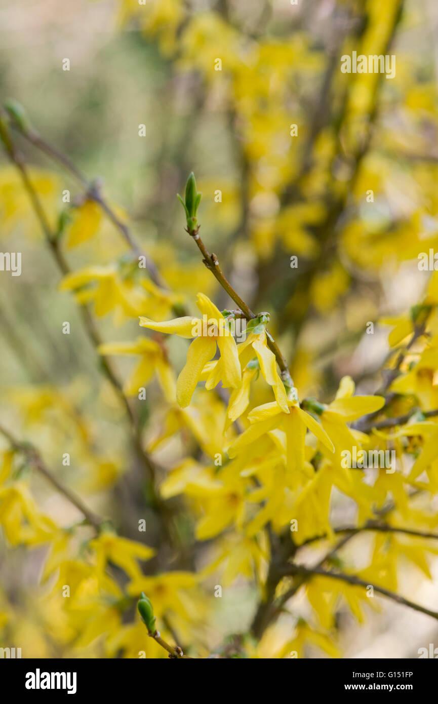 Forsythia ovata flowering in springtime. UK Stock Photo