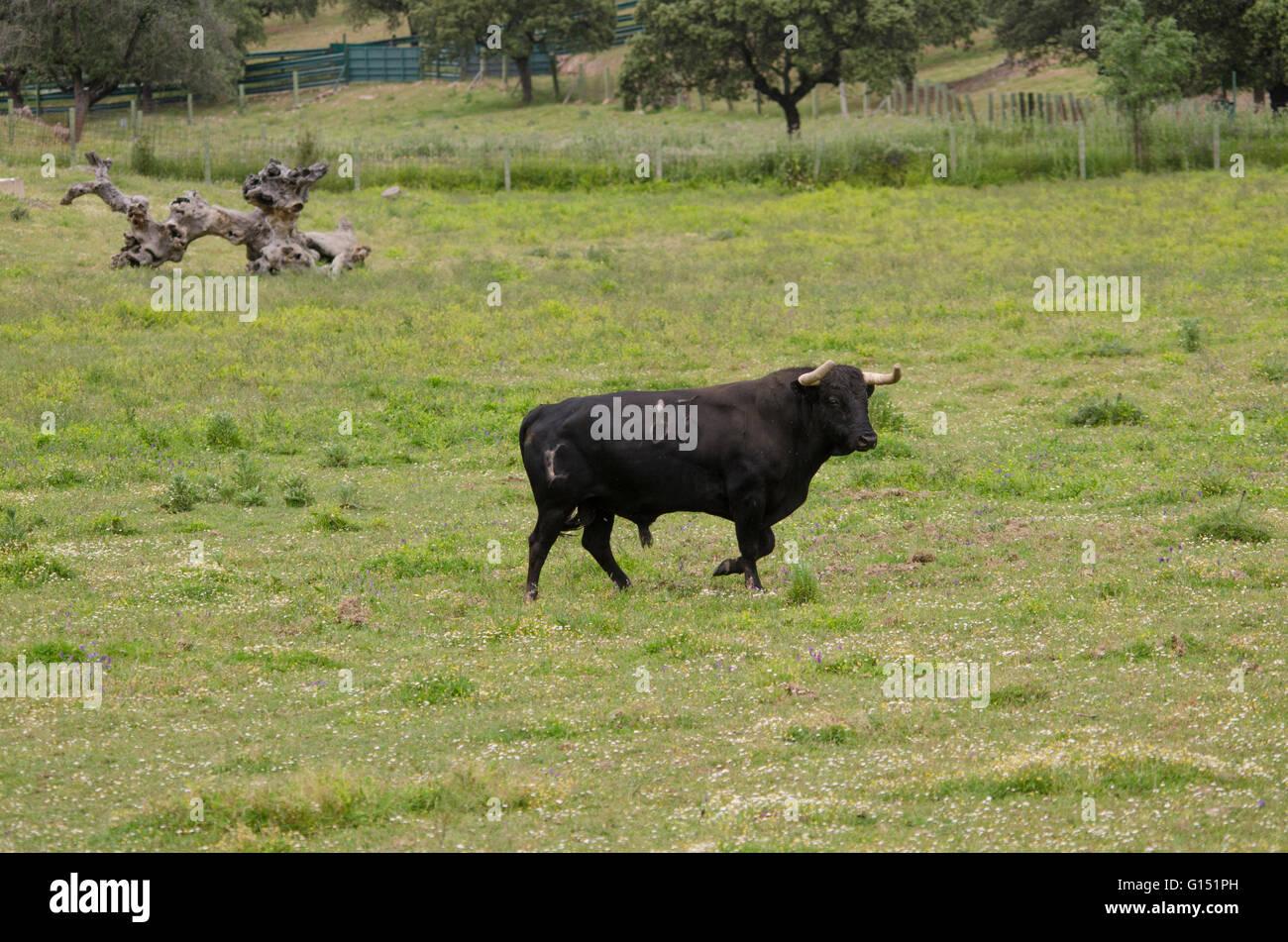 Brunette bbw and bull