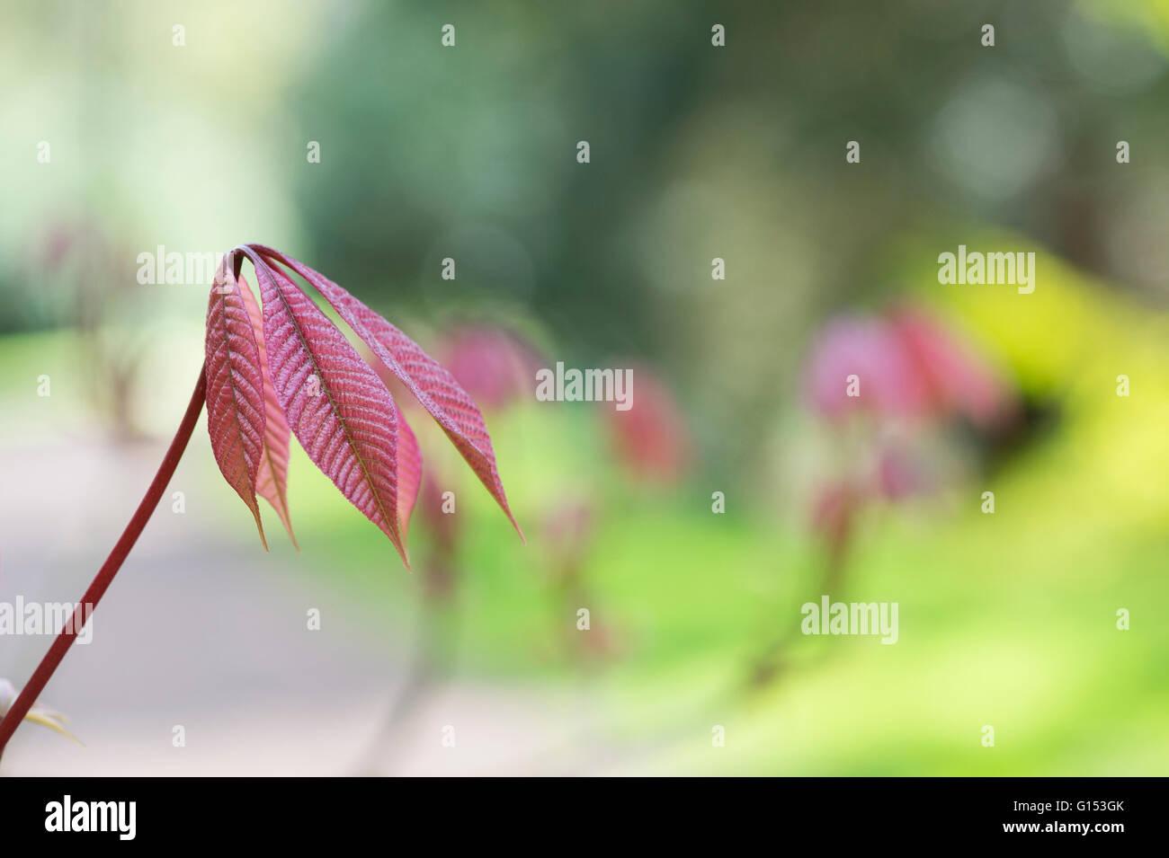 Aesculus Parviflora. Dwarf buckeye tree leaves in spring. UK Stock Photo