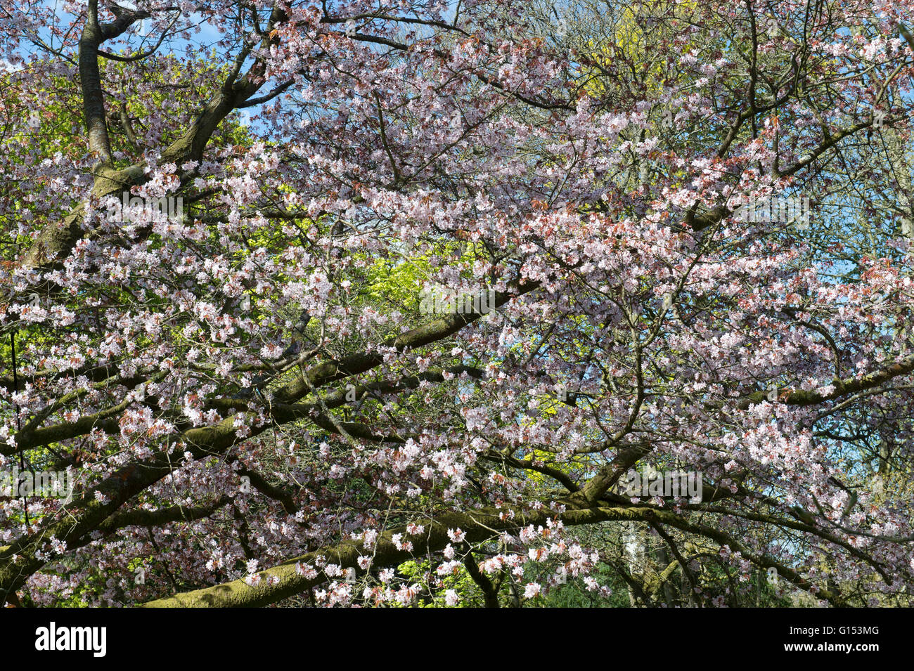 Prunus Sargentii. Sargents cherry tree blossom at Westonbirt Arboretum. Gloucestershire, England Stock Photo